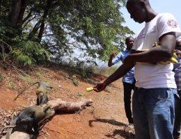 les singes sacres de soko 2eme version