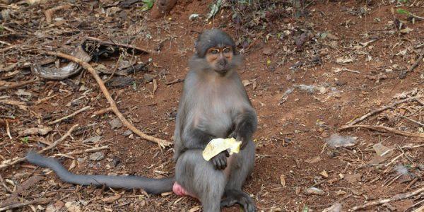 lhistoire des singes sacres de man